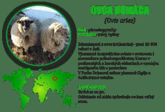 Ovca domaca