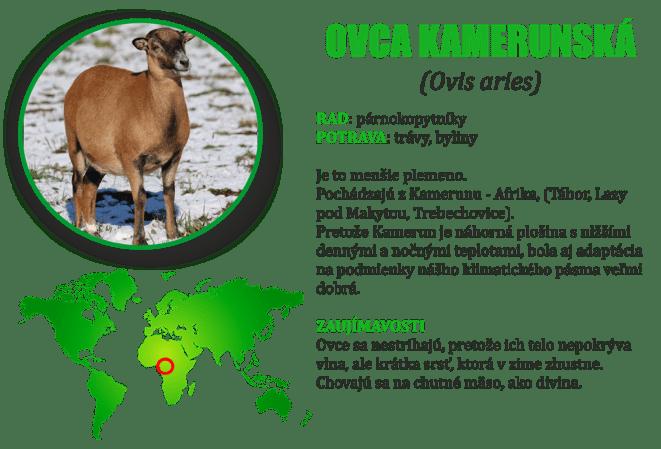 Ovca kamerunska