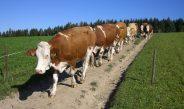 Biomilchkühe auf hoffernen Flächen