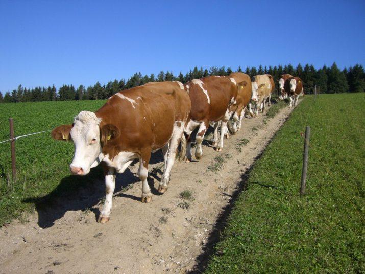 Gänsemarsch zur Weide © Bio Austria