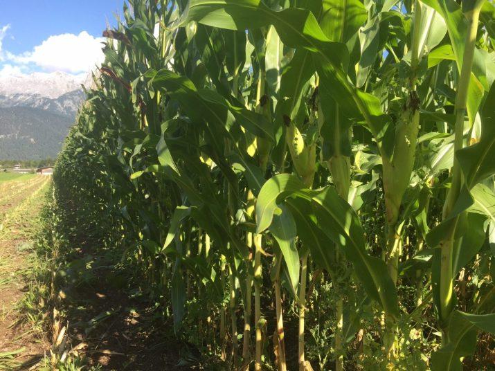 Mais erntereif für Grünfütterung © Markus Danner