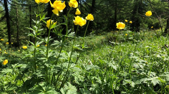 Alpentrollblume © Markus Danner