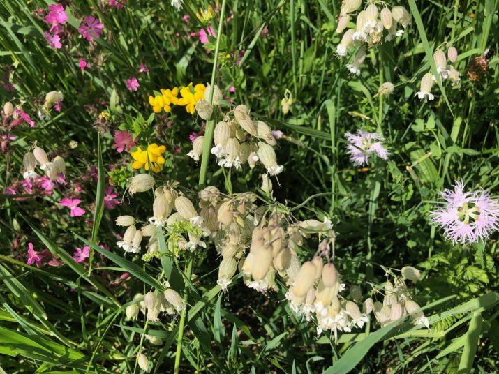 Blühpflanzen in Glatthafer-Kräuterwiese (C) Danner