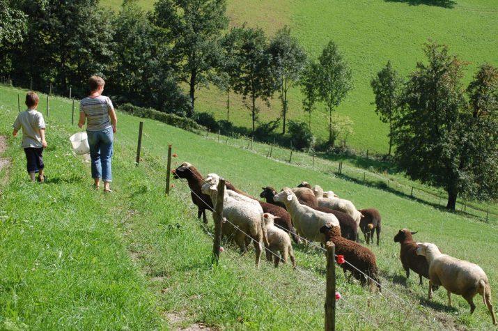 Schafe sind ideale Berggrünlandnutzer und -pfleger © Bio Austria