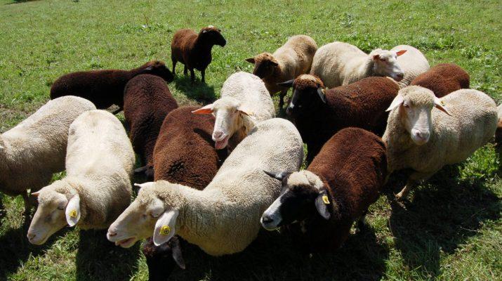 weiße und schwarze Schafe © Bio Austria