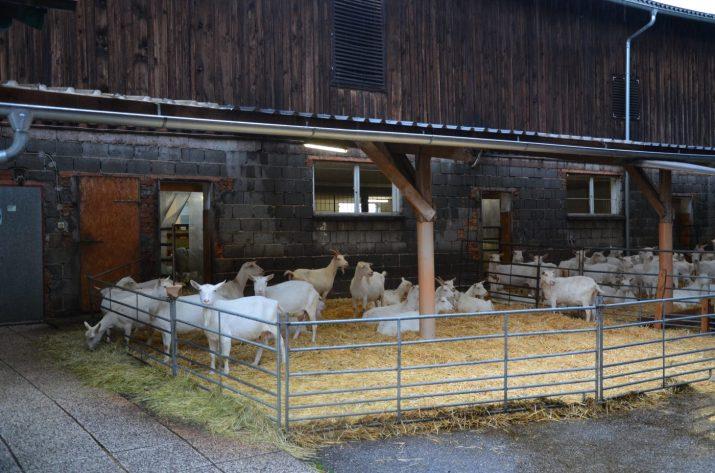 trockener, sauberer Ziegenauslauf © Promegger