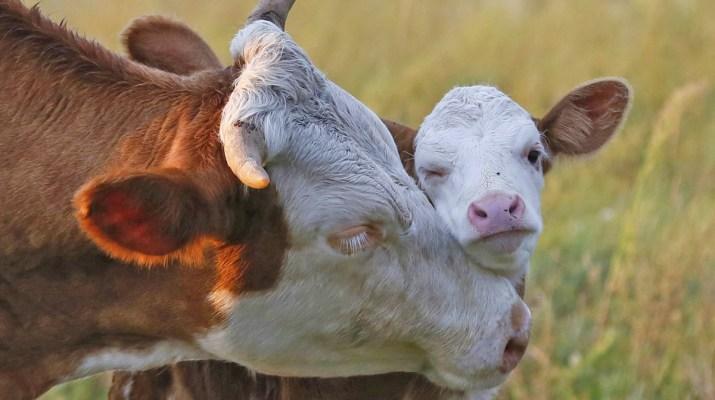 Kuh und Kalb © Bio Austria