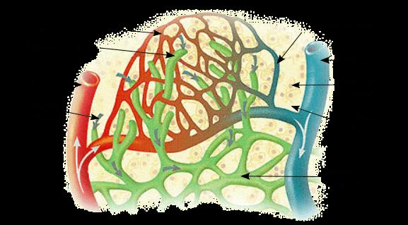 Linfa y vasos linfáticos