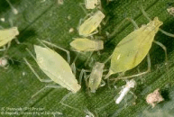 Image result for aphid potato