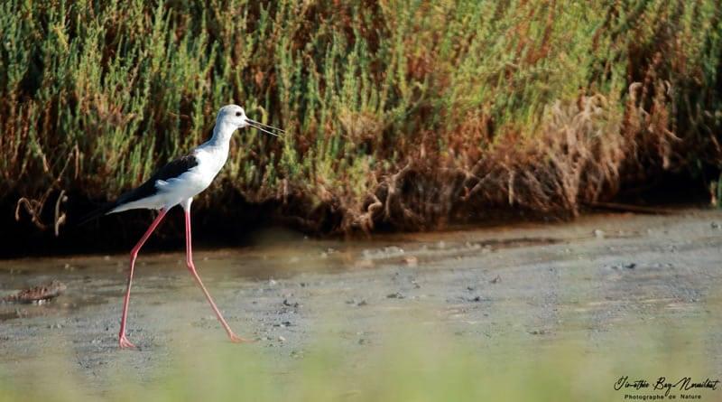 photo ornithologique Timothée Bay-nouailhat