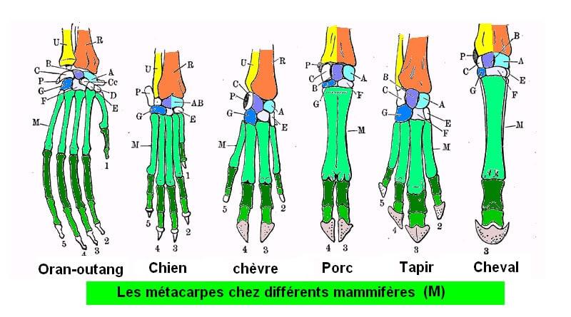 biologie et évolution : métacarpes de mammifères