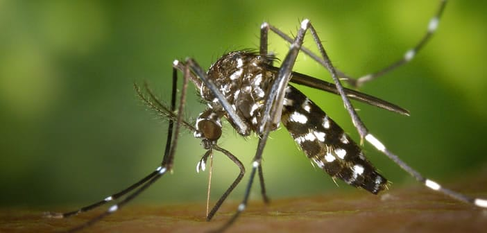 moustique tigre (photo Pixabay)