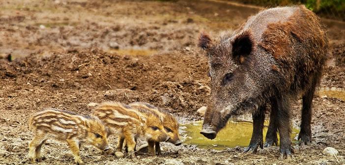 maladies infectieuses peste porcine