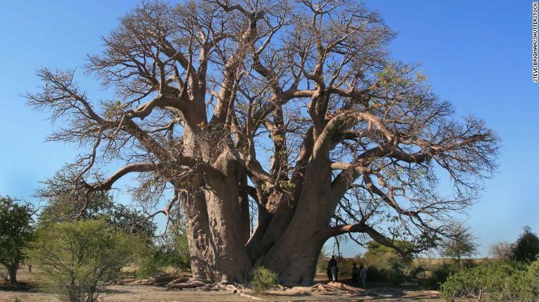 Зашто афрички баобаб пропада?