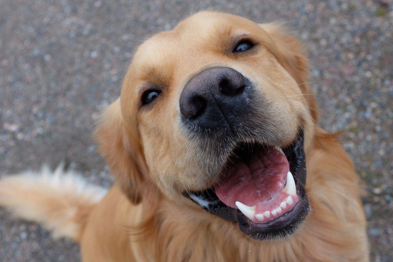 Утицај гена на особине паса