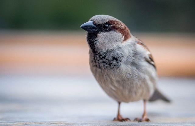 Орнитолози поклањају жбуње погодно за врапце