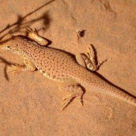 Coachella Valley Fringe-Toed Lizard (<i>Uma inornata</i>)