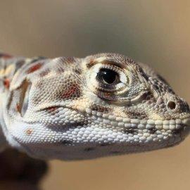 Blunt-Nosed Leopard Lizard (<i>Gambelia silus</i>)
