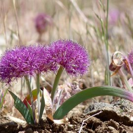 ALLIACEAE (Onion Family) & <i>Allium</i> ssp.