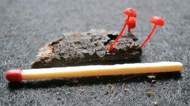 Micologia: Pequena espécie de fungo