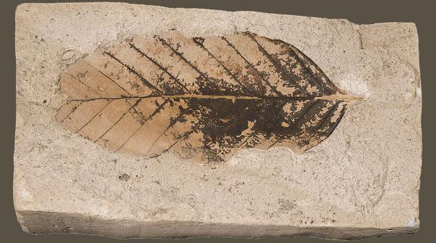 Paleobotânica
