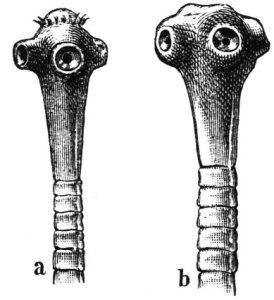 Parasitologia. taenia solium, taenia saginata