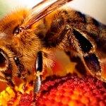 Abelhas ameaçadas com o Aquecimento Global