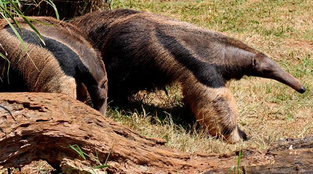 Fauna brasileira. Tamanduá-bandeira