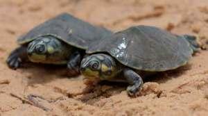 Salvando as tartarugas