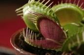 Dionaea muscipula