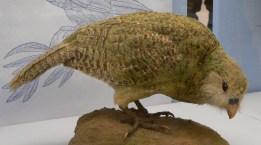 Kakapo Museo