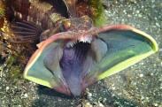 Neoclinus blanchardi amenazante de www.exdya.com