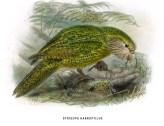 Strigops Habroptilus Dibujo
