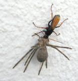 Tachypompilus ignitus