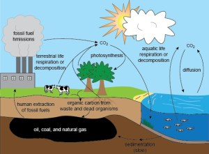 Carbon Cycle  Biology For All