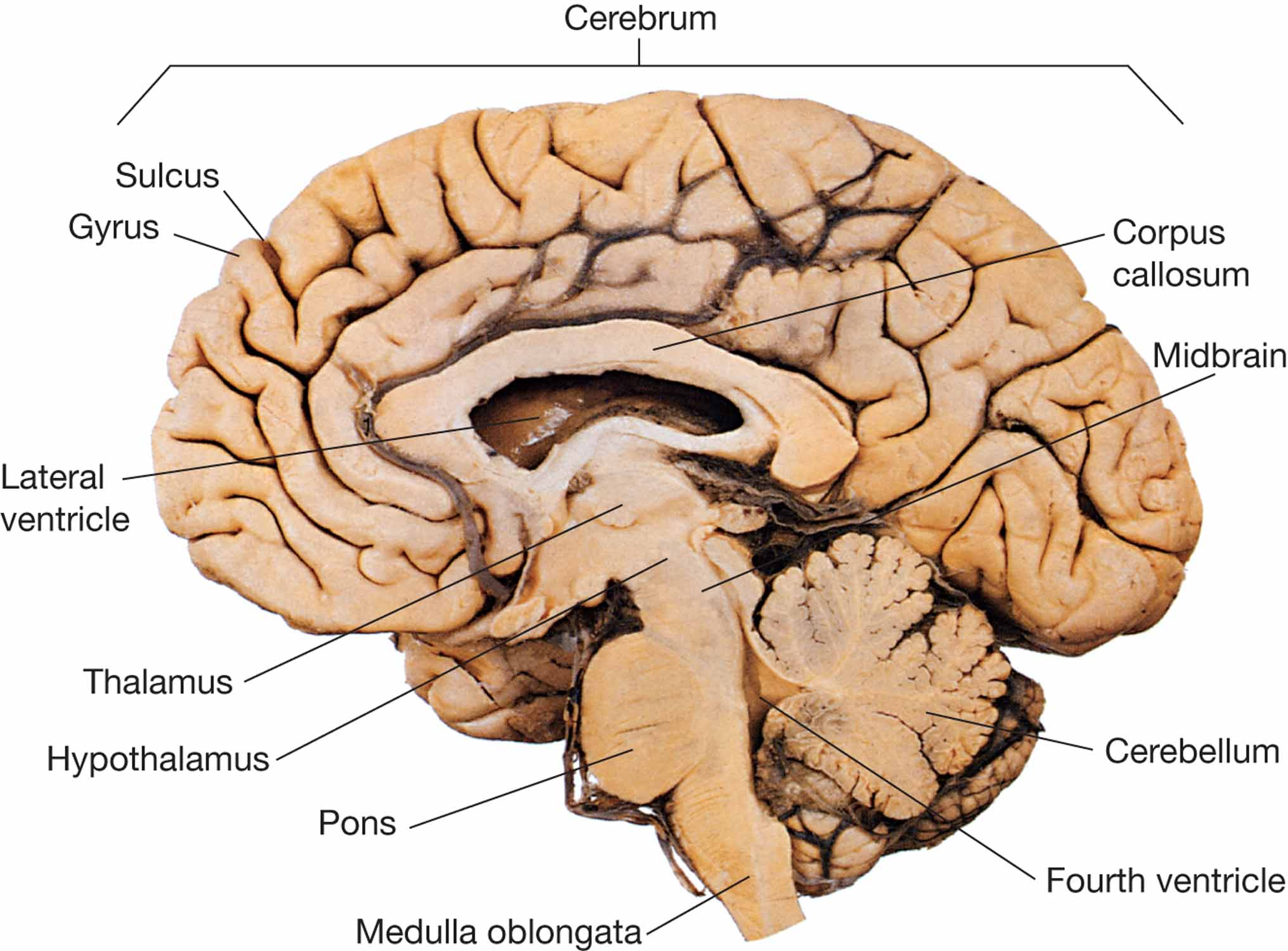 Midline Cut Section Of The Brain