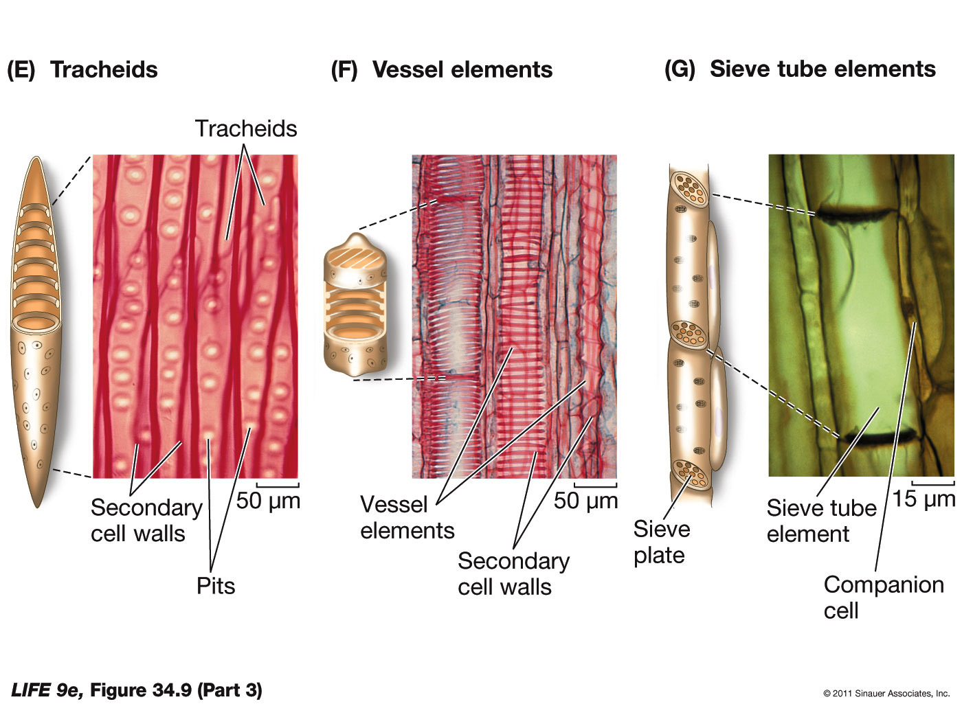 Plant Cell Types Part 3