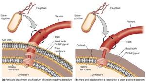 The Structure Of A Prokaryotic Flagellum  Biology Forums