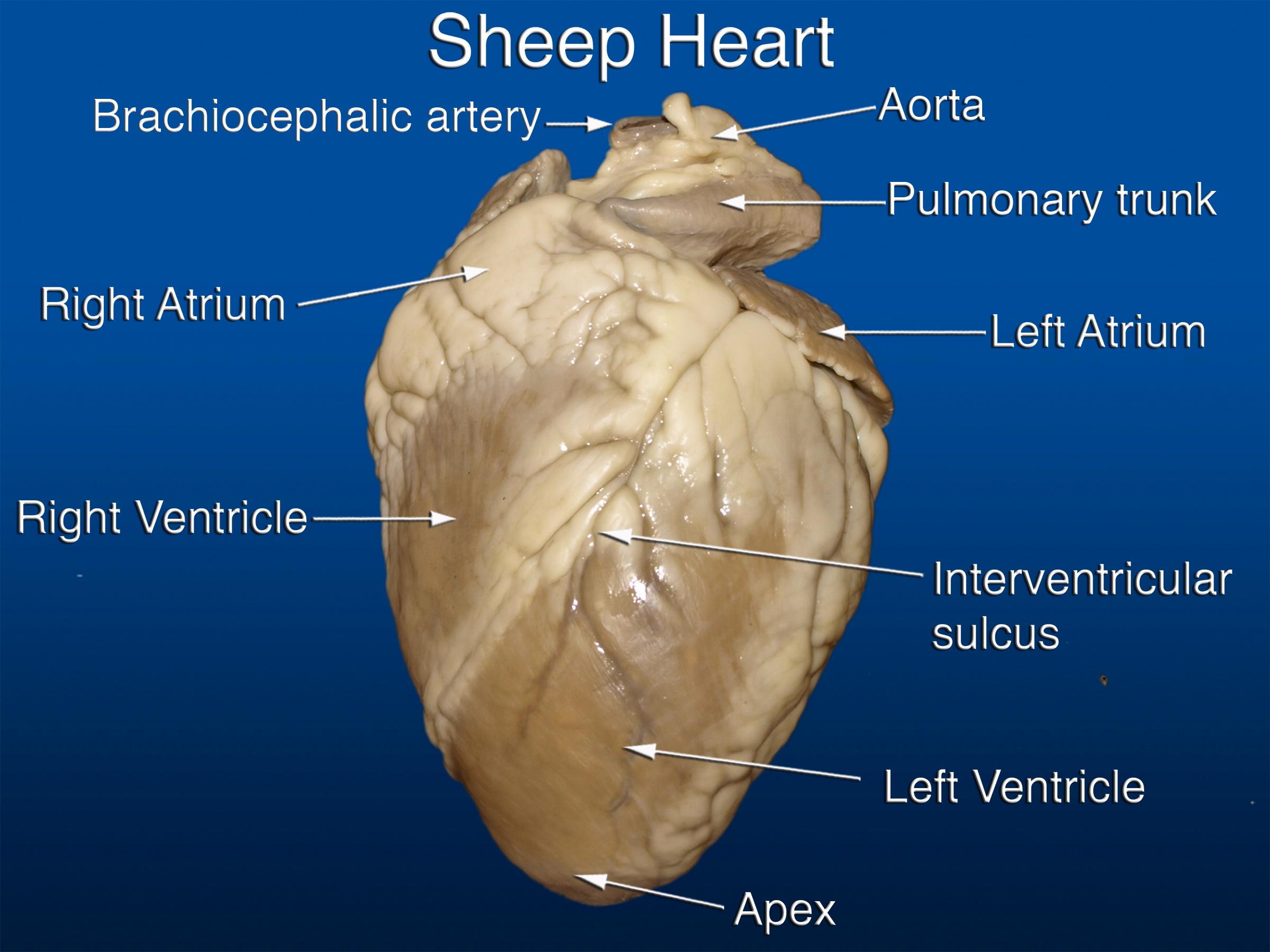 Anterior Sheep Heart