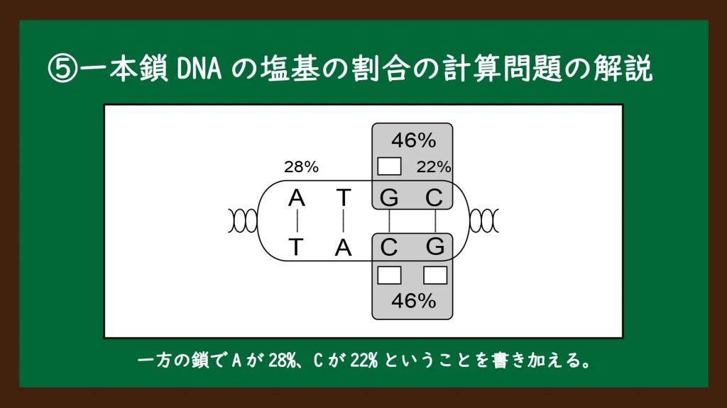 一本鎖DNAの塩基の割合の計算問題の解説②