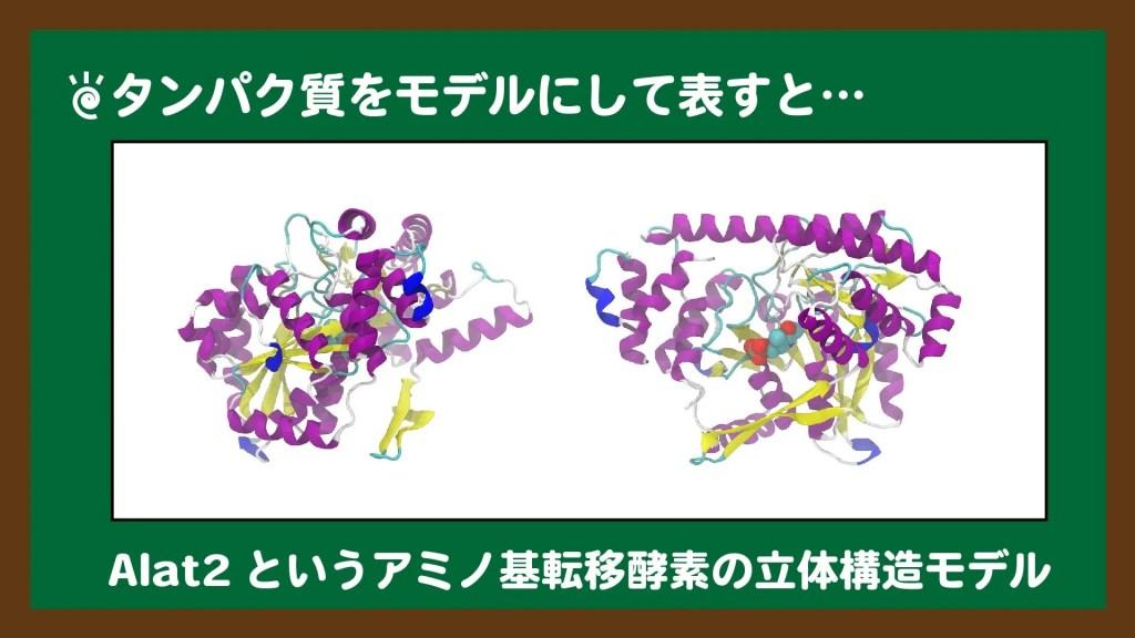 タンパク質をモデルにして表すと…