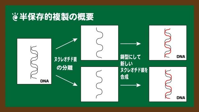 図.半保存的複製の概要