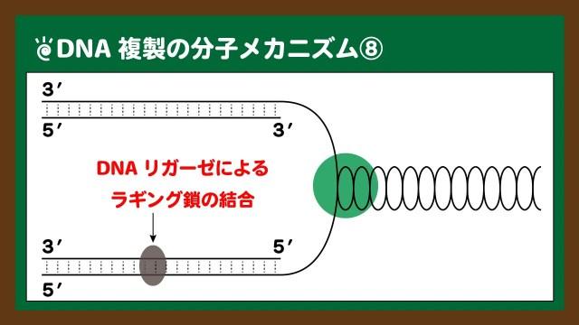 図.DNAリガーゼによるラギング鎖の結合