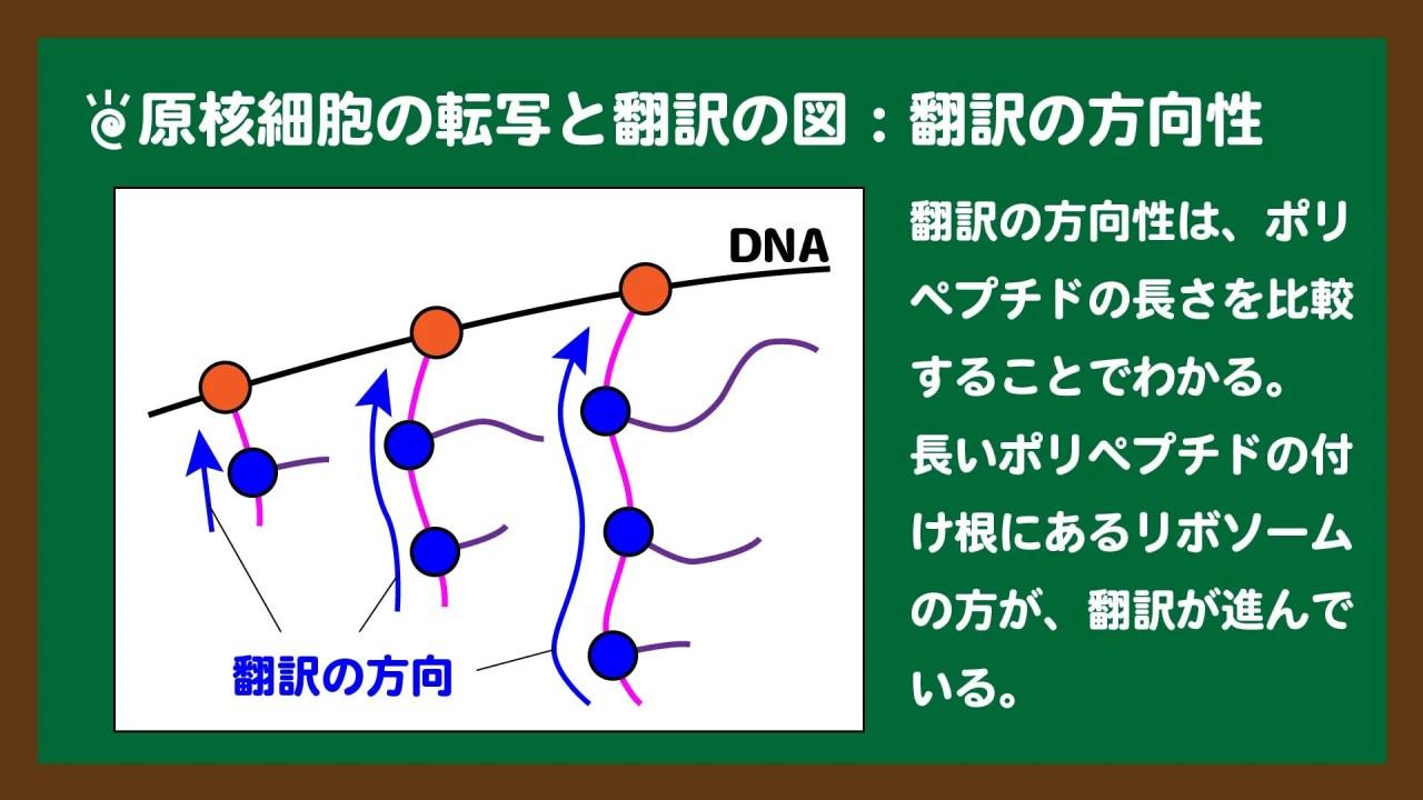 スライド5:原核細胞の翻訳の方向性