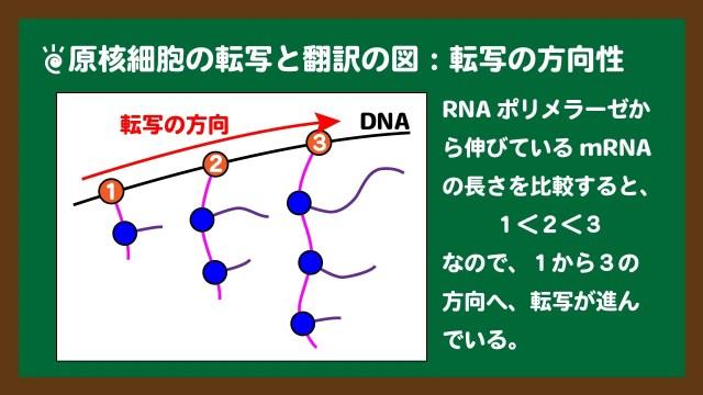 スライド4:原核細胞の転写の方向性