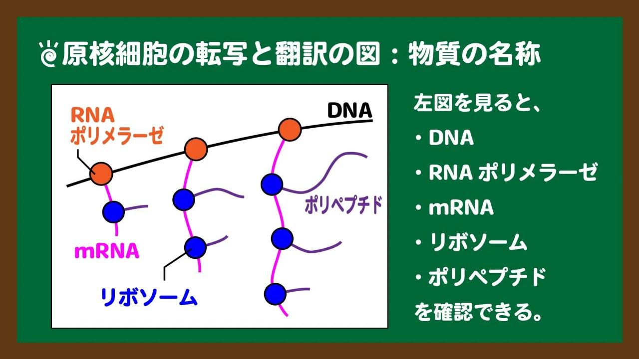 スライド3:原核細胞の転写と翻訳の図における物質の名称