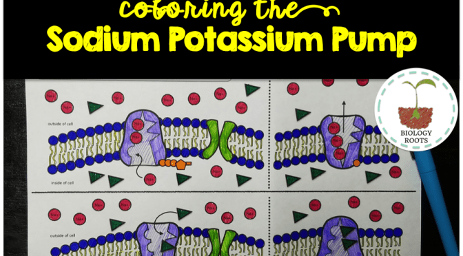 Tips for Teaching the Sodium Potassium Pump