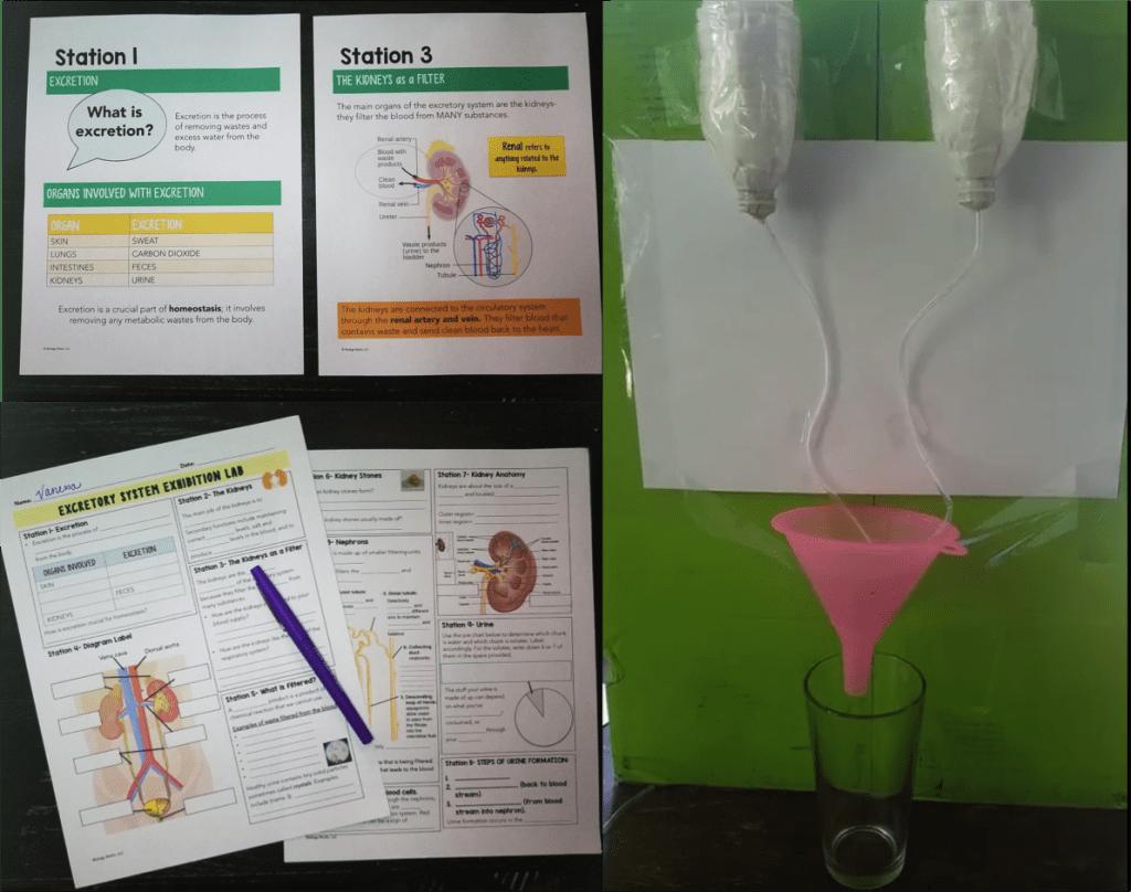 Excretory System Model