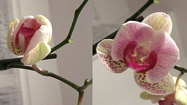 Orchid flower opens