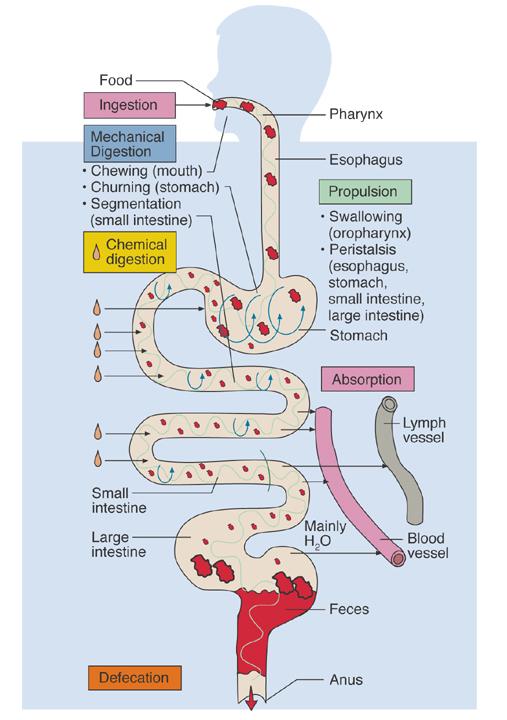 Chapter 26 Digestive System - Biology 4 Human ...